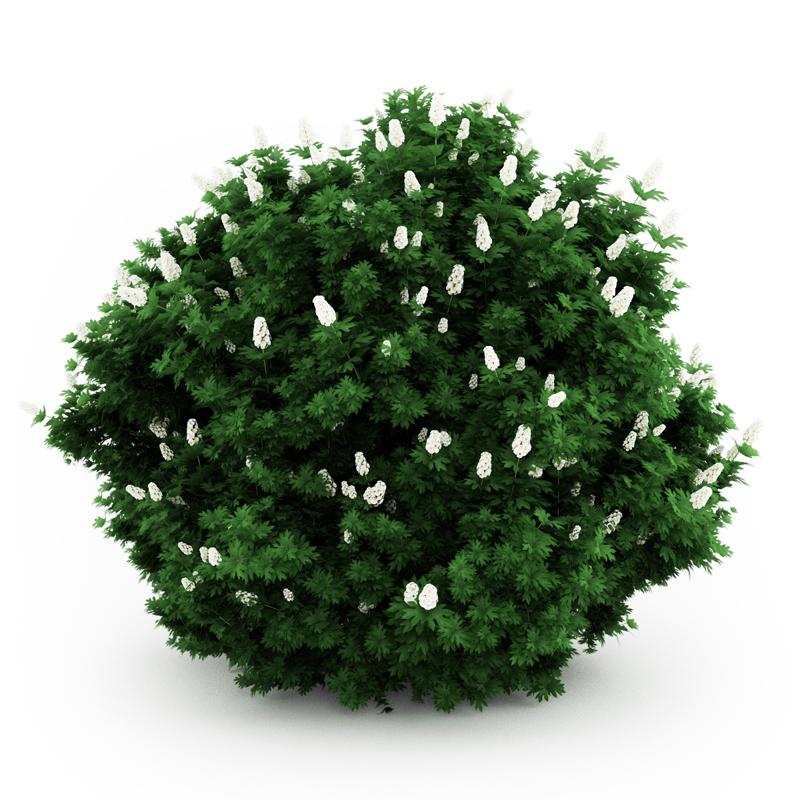 Oakleaf hydrangea 3D Model .max .obj .fbx .c4d- CGTrader.com