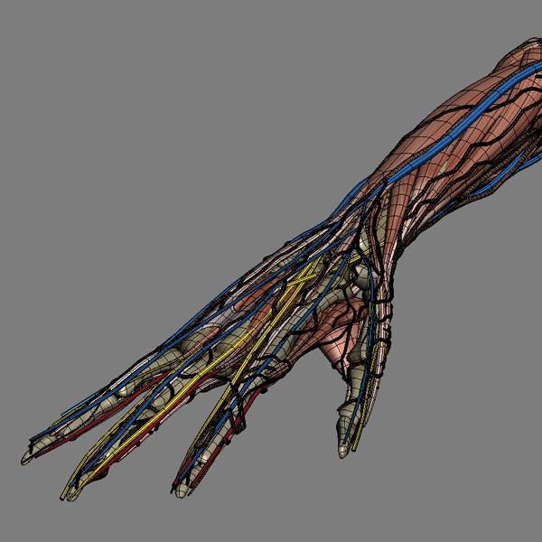 Human Male And Female Complete Anatomy - B 3D Model Max Obj 3Ds Fbx C4D Lwo -5488