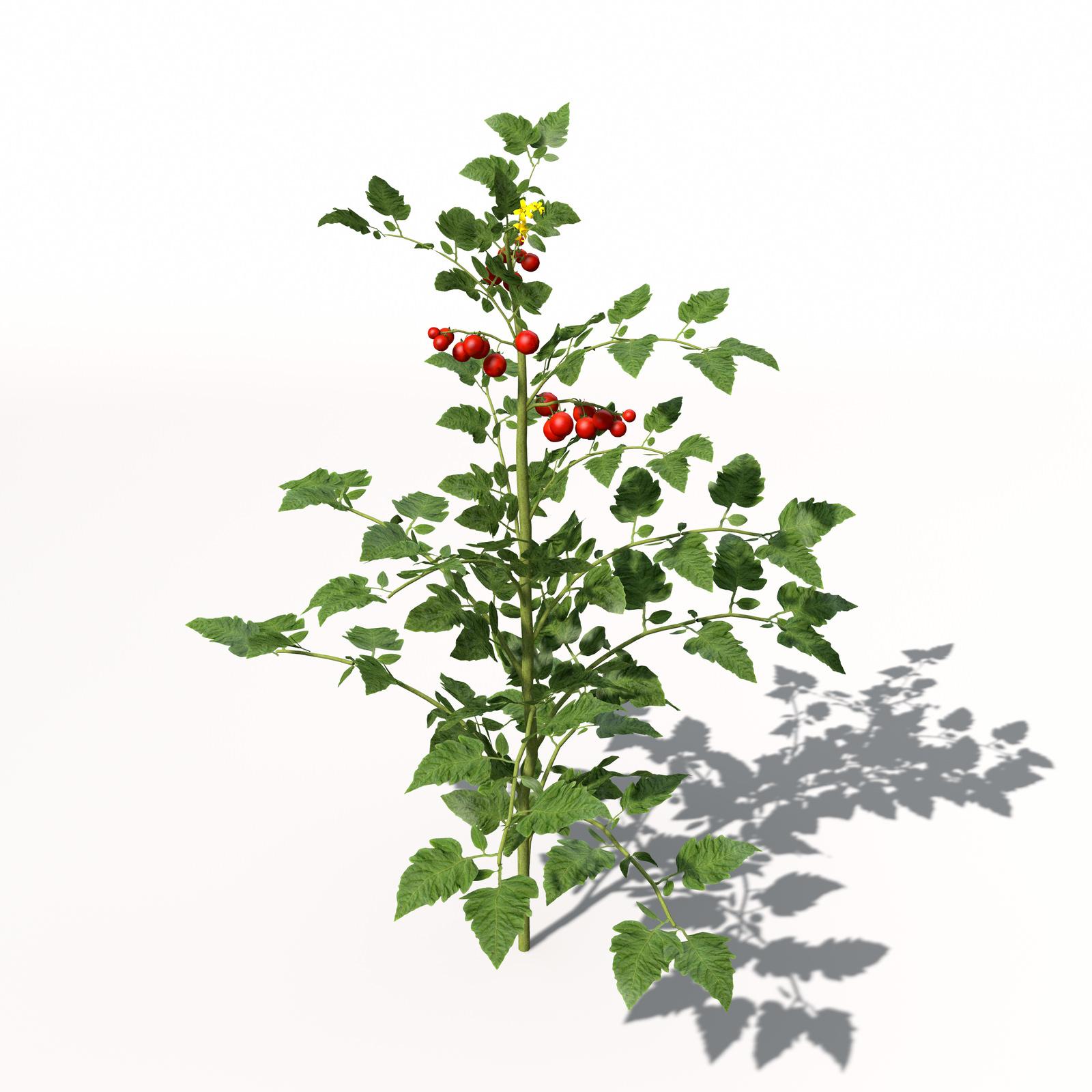 XfrogPlants Cherry Tom...