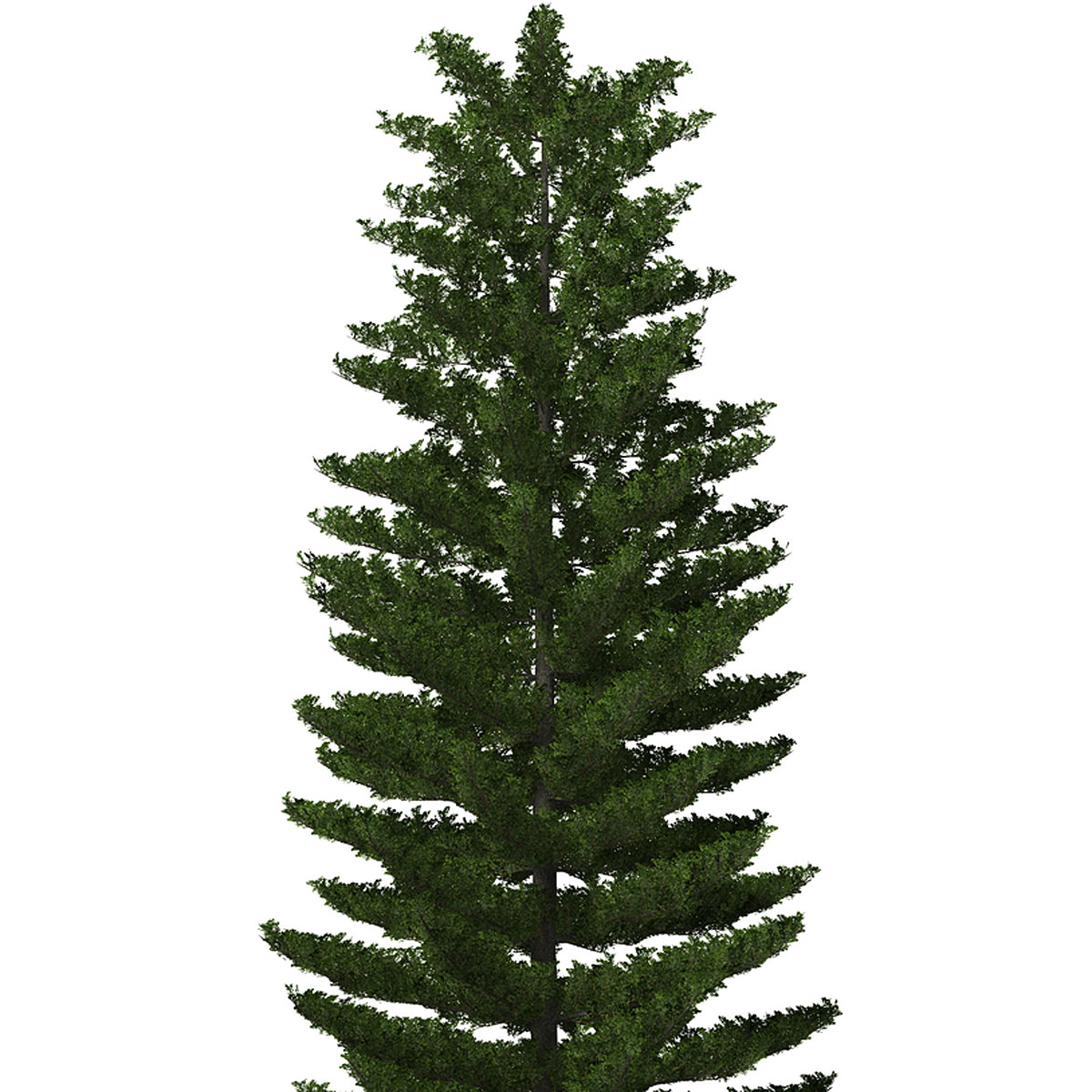 photos images norfolk pine tree