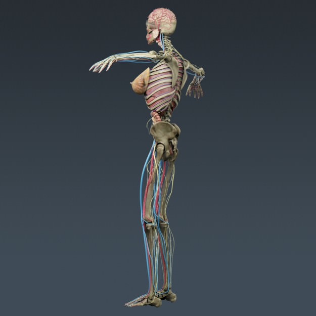 Human Male And Female Anatomy - Body Muscl 3D Model Max Obj 3Ds Fbx C4D Lwo -4330