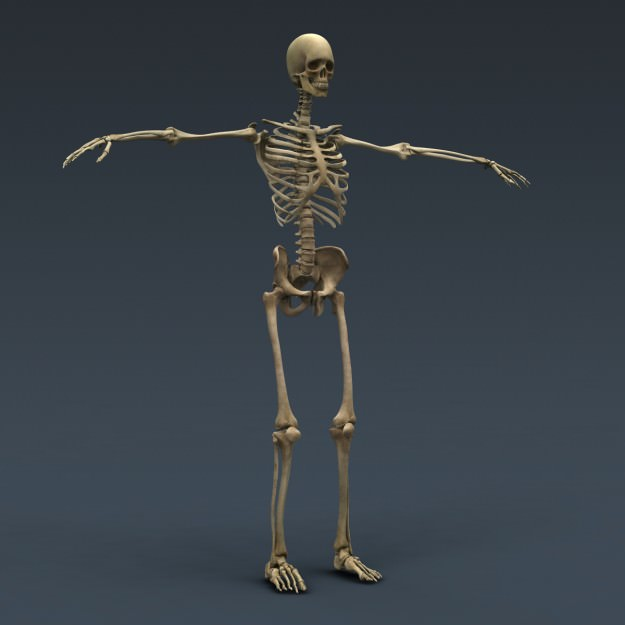 Human Male and Female Anatomy - Body Muscl... 3D Model ...
