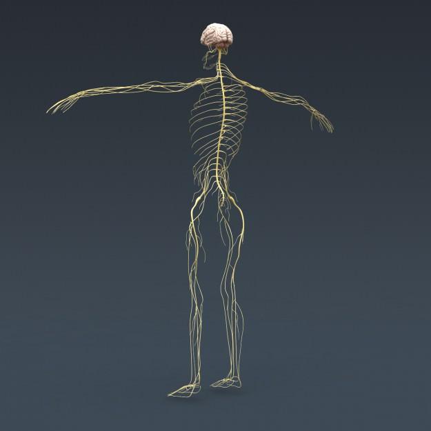 Female skeleton anatomy