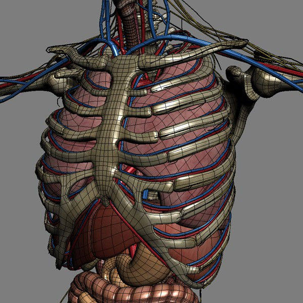 Human Male And Female Anatomy - Body Muscl 3D Model Max Obj 3Ds Fbx C4D Lwo -5962