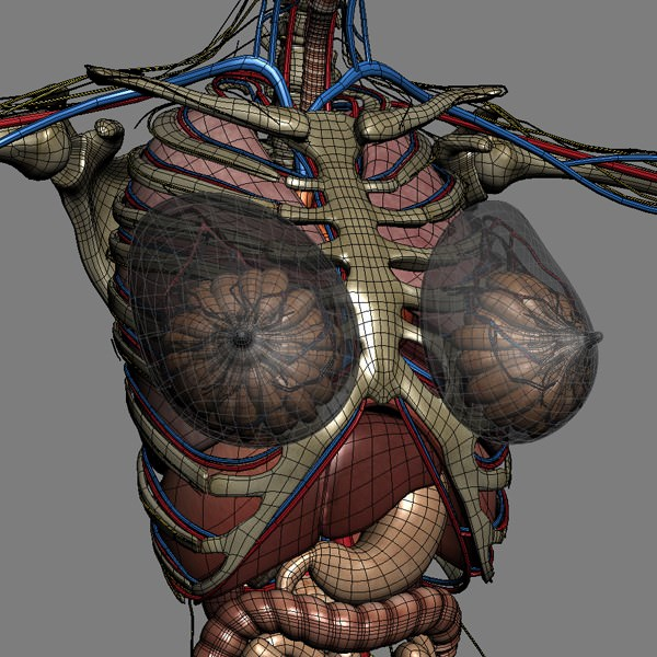 Human Male And Female Anatomy - Body Muscl 3D Model Max Obj 3Ds Fbx C4D Lwo -3183