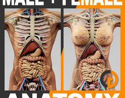 Human Male and Female Anatomy - Body Skeleton and Internal Organs 3D Model