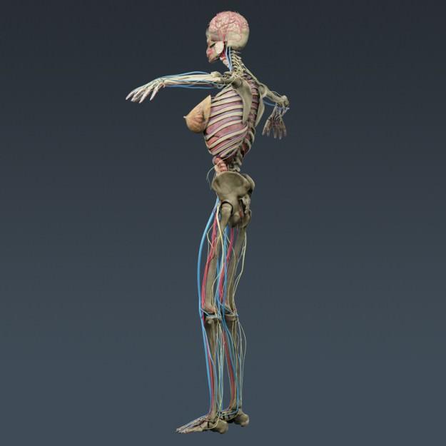 Male and female anatomy