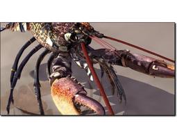 lobster 1 homarus gammarus studio max 3d