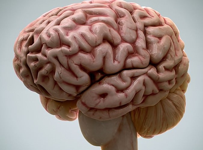 Make 3D Brain Model http://www.cgtrader.com/3d-models/science-medical/medical/anatomy-human-brain-2-0