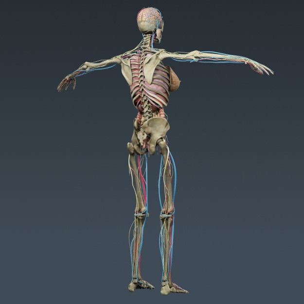 Human female anatomy body muscles skelet 3d model max obj 3ds