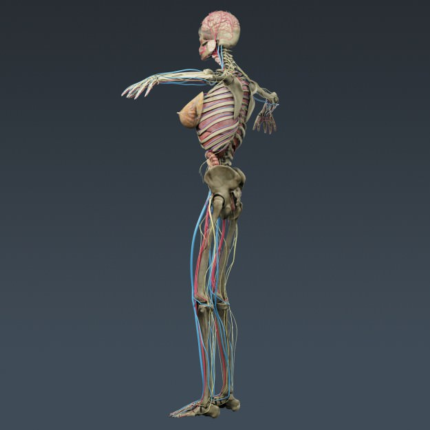 Human Female Anatomy Body Muscles Skelet... 3D Model .max .obj .3ds ...