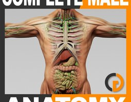 Human Male Anatomy - Body Muscles Skeleton Organs Lymphatic 3D Model