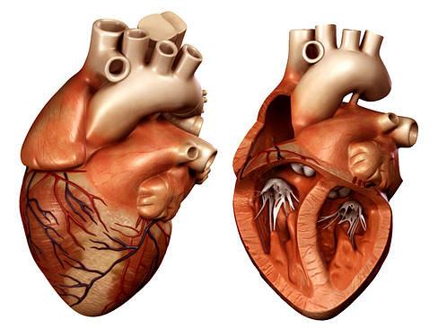 heart 3d model max obj 3ds lwo lw lws ma mb mtl 1