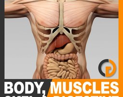 Human Male Body Muscular Digestive System and Skeleton - Anatomy 3D Model