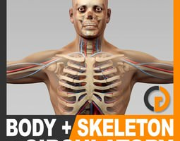 Human Male Body Circulatory System and Skeleton - Anatomy 3D Model