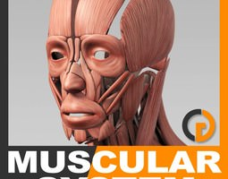 Human Muscular System - Anatomy 3D Model