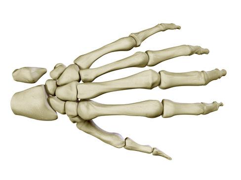 3D Hand Skeleton | CGTrader