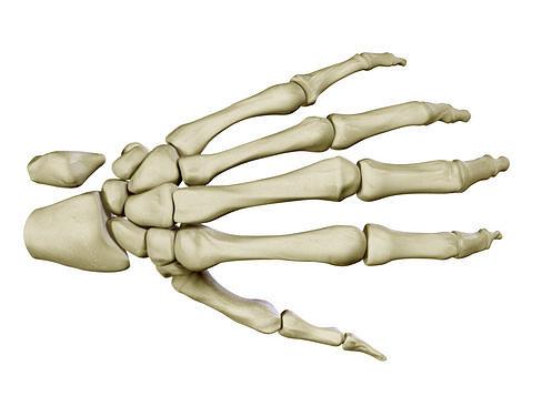 3d Hand Skeleton Cgtrader