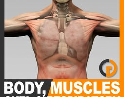 Human Male Body Muscular Respiratory System and Skeleton - Anatomy 3D Model