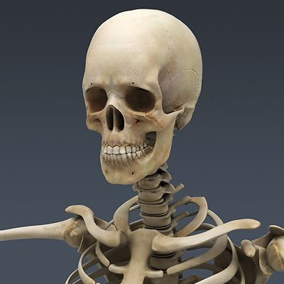 Human Male Body, Muscular, Respiratory System and Skeleton - Anatomy 3D Model .max .obj .3ds .fbx .lwo .lw .lws .c4d