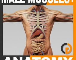 Human Male Anatomy - Body Muscles Skeleton and Internal Organs 3D Model