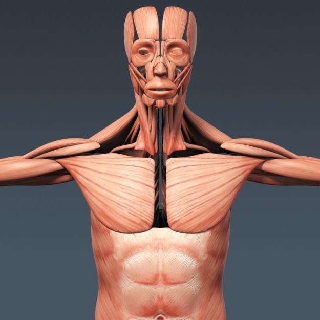 Human Male Anatomy - Body Muscles Skeleton... 3D Model ...