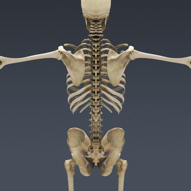 Body Muscles Skeleton... 3D Model