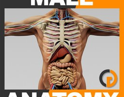 Human Male Anatomy - Body Skeleton and Internal Organs 3D Model