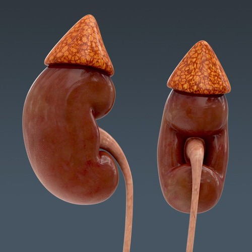 human urinary and reproductive system - anatomy 3d model max obj 3ds fbx c4d lwo lw lws 4