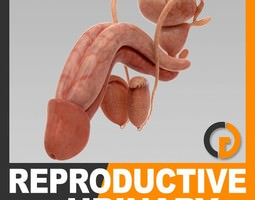 Human Urinary and Reproductive System - Anatomy 3D Model