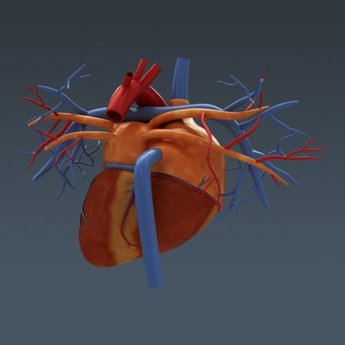 human body internal organs - anatomy 3d model max obj 3ds fbx c4d lwo lw lws 22