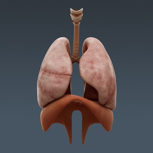 human body internal organs - anatomy 3d model max obj 3ds fbx c4d lwo lw lws 11
