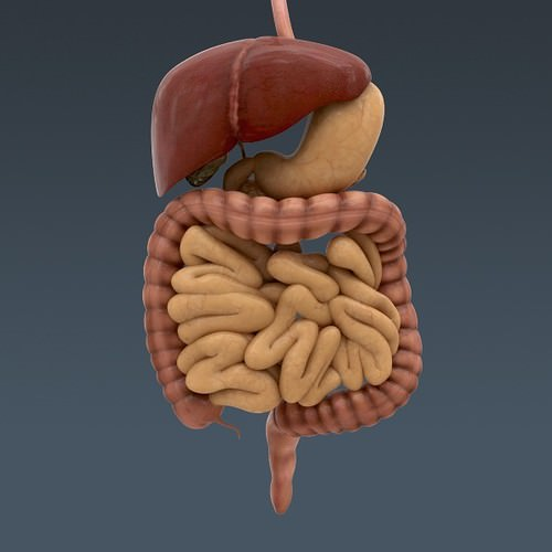 human body internal organs - anatomy 3d model max obj 3ds fbx c4d lwo lw lws 10