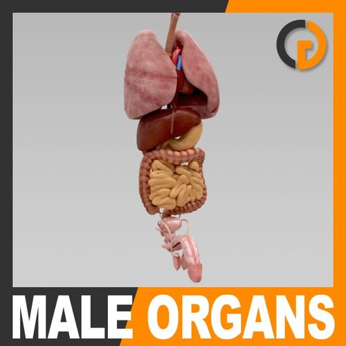 human body internal organs - anatomy 3d model max obj 3ds fbx c4d lwo lw lws 1