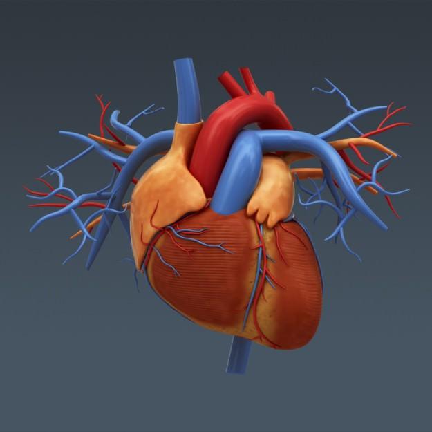 human body internal organs - anatomy 3d model  max  obj  3ds  fbx  c4d  lwo  lw  lws