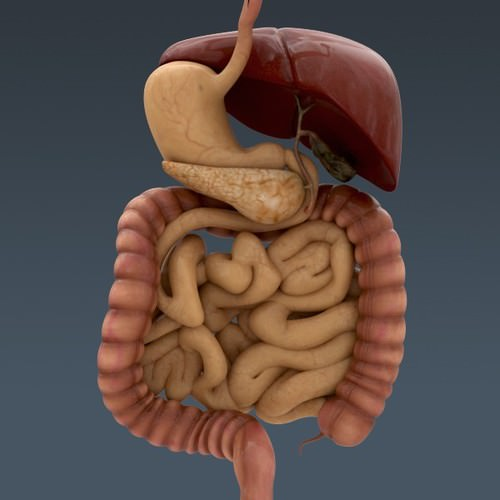 Human Body Internal Organs - Anatomy