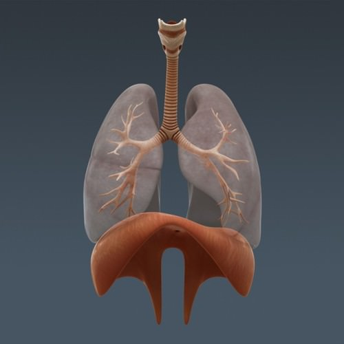 Human Body Internal Organs - Anatomy 3D Model .max .obj .3ds .fbx .c4d .lwo .lw .lws