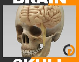 Human Brain and Skull - Anatomy 3D Model