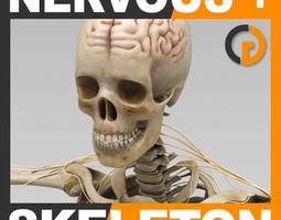 Human Skeleton and Nervous System with Brain - Anatomy 3D Model