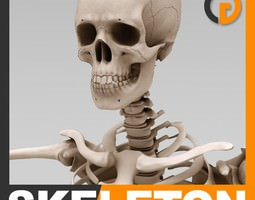 Human Skeleton - Anatomy 3D Model