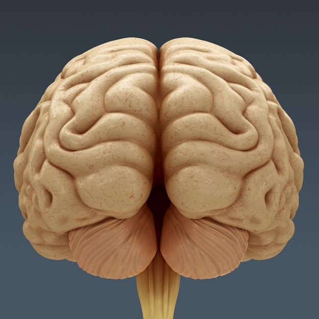 Human Brain Anatomy 3d Model Max Obj 3ds Fbx C4d