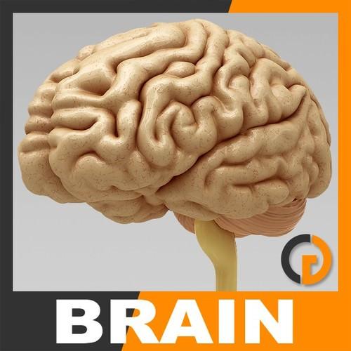 Human Brain - Anatomy3D model