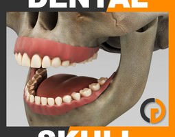 Human Dental Skull - Anatomy 3D Model