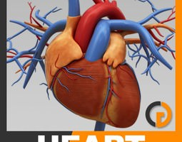 Human Heart - Anatomy 3D Model
