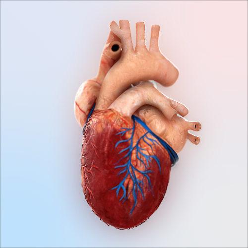 human heart 3d model max 1