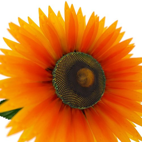sunflower 3d model rigged animated obj mtl blend 1