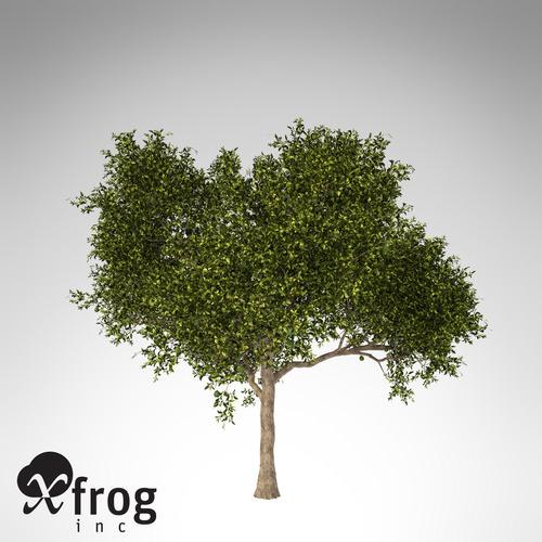 XfrogPlants Avocado tree3D model