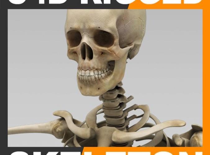 Human Skeleton Cinema 4D Rigged3D model