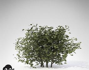 XfrogPlants European Cranberry Bush 3D model