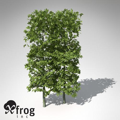 XfrogPlants European Hornbeam Hedges3D model